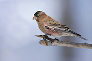 Brown-capped Rosy Finch - Leucosticte australis - Adult