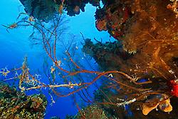 Feather Black Coral, Antipathes pennacea, West End, Grand Bahamas, Caribbean, Atlantic Ocean
