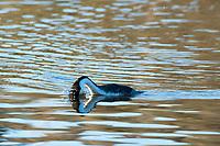Clark's Grebe, Aechmophorus clarkii, diving into the water in Upper Klamath Lake, Oregon