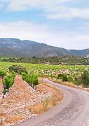 Domaine d'Aupilhac. Montpeyroux. Languedoc. Mont Baudile and the plateau. Calcareous limestone plateau called rendzine. Terroir soil. France. Europe. Vineyard. Mountains in the background. Mont Saint Baudille. Soil with stones rocks. Calcareous limestone.