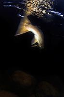 Atlantic Salmon, Salmo salar, in River Orkla, Rennebu, Norway. Photographed at catch/release fishing.