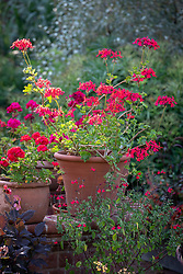 Pelargonium 'Kewensis' in a terracotta pot