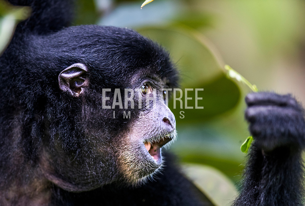 The siamang (Symphalangus syndactylus) is an arboreal black-furred gibbon native to the forests of Indonesia, Malaysia and Thailand. The largest of the gibbons, the siamang can be twice the size of other gibbons, reaching 1 m in height, and weighing up to 14 kg. Photo: Paul Hilton for RAN