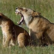 African Lion (Panthera leo) Female yawning. cub sitting next to her. Masai Mara National Park. Kenya. Africa.