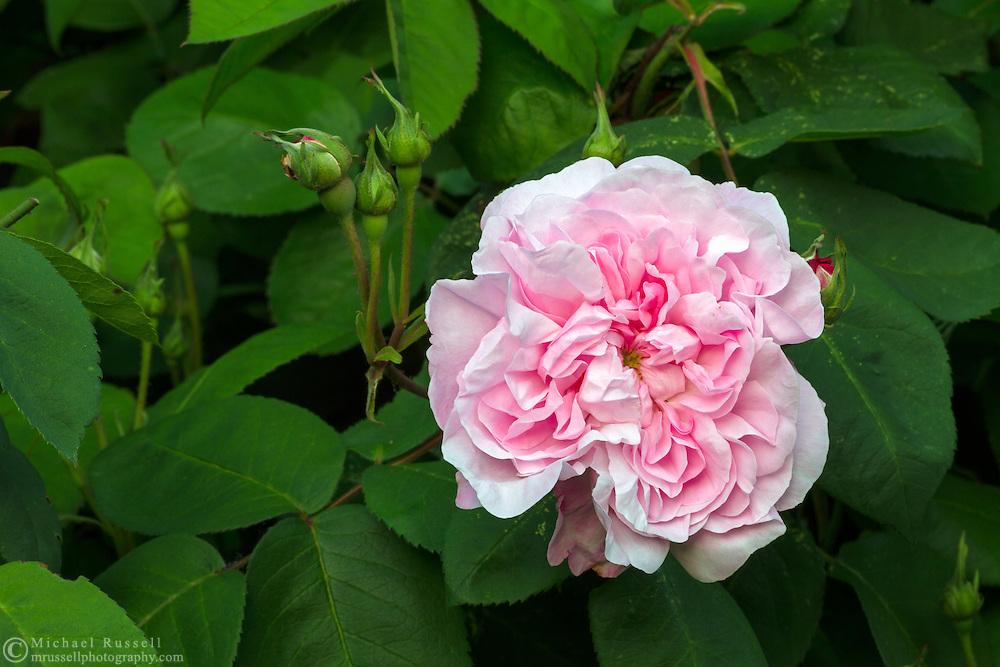 "'Fantin Latour' ( Rosa centifolia ) - an ""Old Garden Rose"" flowering during the spring in a backyard rose garden"