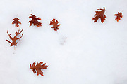 Autumn oak leaves fall onto fresh snow in Snohomish County, Washington.