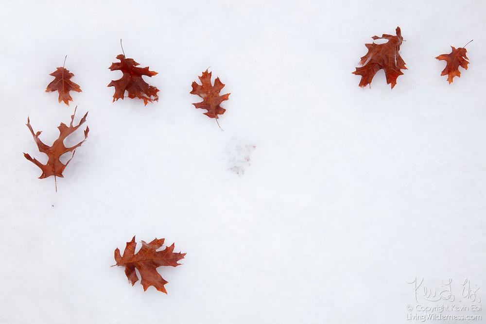 Autumn oak leaves fall onto fresh snow in Snohomish County, Washington.