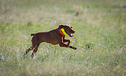 SHOT 5/9/20 8:58:02 AM - Various pointing breeds compete in the Vizsla Club of Colorado Licensed Hunt Test Premium at the Rocky Mountain Sporting Dog Club Grounds in Keenesburg, Co. (Photo by Marc Piscotty / © 2020)