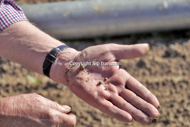 Nederland, Leuth, 21-5-2020  Een boer in de Ooijpolder bekijkt zijn akker met suikerbieten . De gezaaide zaadjes zijn   gekiemd, maar veel zijn daarna afgestorven vanwege een tekort aan vocht, water . De wel opgekomen plantjes zijn welliswaar erg klein en kwetsbaar maar met het beregenen zullen ze het wel redden denk hij . Hij graaft een zaadje op om te kijken of het inderdaad gekiemd is zodat hij weet datde droogte  de oorzaak is . Foto: Flip FranssenFoto: Flip Franssen