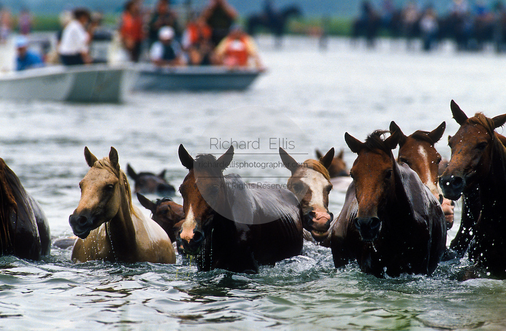 CHINCOTEAGUE, VA - Wild ponies cross the Assateague Channel during the annual Pony Swim and Auction to the island of Chincoteague, Virginia. The ponies are escorted by volunteers on horse back and in boats as they make the journey to the fair grounds where they will be auctioned. The proceeds help the volunteer fire department raise money for an ambulance fund to buy and maintain equipment. (photo by Richard Ellis)