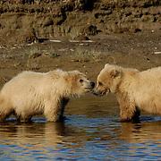 Alaskan Brown Bear, (Ursus middendorffi) Sibling cubs. Katmai National Park. Alaska.