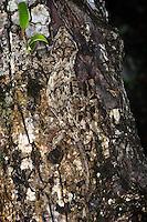 New Caledonia bumpy gecko, gargoyle gecko<br /> (Rhacodactylus auriculatus)