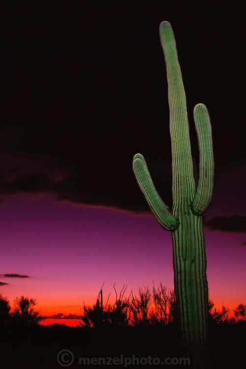 Sunset sky at the Saguaro National Monument, Arizona desert with large green saguaro cactus (Carnegiea gigantea) near Tucson, Arizona, USA.
