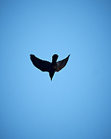 American Crow. Image taken with a Nikon D2xs camera and 80-400 mm VR telephoto zoom lens.