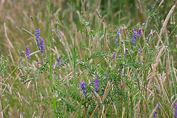Tufted Vetch in the meadow. Vicia cracca