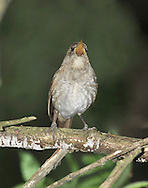Thrush Nightingale - Luscinia luscinia