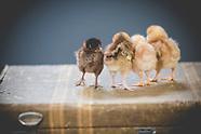 Chicks.3.28.2018