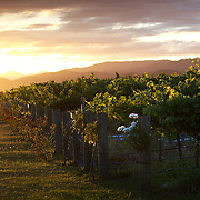 Sweeping views of vineyards at sunset with a stunning mountain range back drop in the Marlborough Wine Region, Blenheim,  South Island of New Zealand.<br /> The Marlborough wine region is New Zealand's largest wine producer. The Marlborough wine region has earned a global reputation for viticultural excellence since the 1970s. It has an enviable international reputation for producing the best Sauvignon Blanc in the world. It also makes very good Chardonnay and Riesling and is fast developing a reputation for high quality Pinot Noir. Of the region's ten thousand hectares of grapes (almost half the national crop) one third are planted in Sauvignon Blanc.  Marlborough, New Zealand, 10th February 2011. Photo Tim Clayton