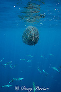 bait ball of schooling anchovies under attack by striped bonito, Sarda orientalis ( small tuna ); shiny fish scales from slaughtered anchovies reflect light as they drift downward; Kei ( or Kai ) Islands, Moluccas, eastern Indonesia, Banda Sea, Southwest Pacific Ocean
