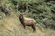 Urine-soaked Bull elk in rut standing on hill, grass on antlers