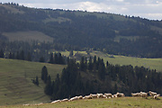 With the Slovakian border on the distant forested ridge, sheep graze on Polish agricultural land in southern Poland, on 20th September 2019, Biala Woda, Jaworki, near Szczawnica, Malopolska, Poland.