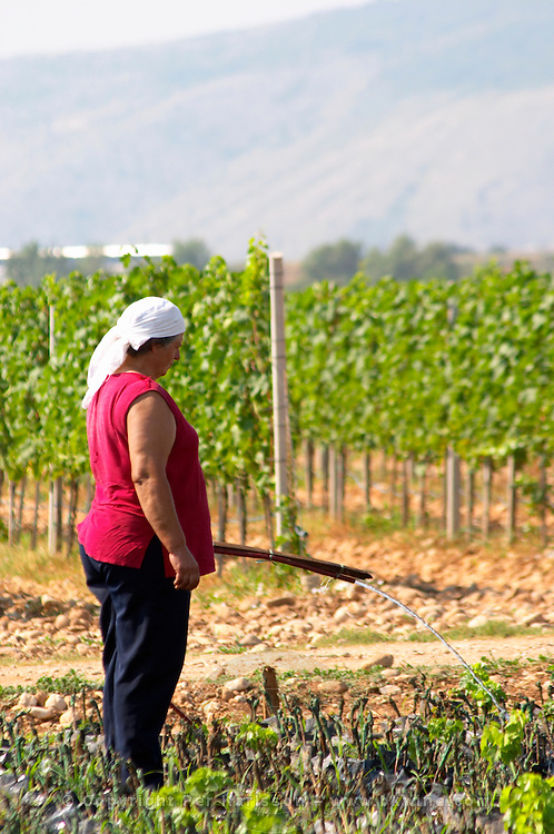 The winery's own vine nursery. Women watering and tending to the young plants. The vineyard with vines on the plain near Mostar with the mountain range in the background. Vineyard on the plain near Mostar city. Hercegovina Vino, Mostar. Federation Bosne i Hercegovine. Bosnia Herzegovina, Europe.