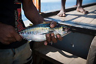 On a small transport boat sailing between Karkar Island and Madang in Papua New Guinea, a sailor holds the juvenile yellowfin tuna he just caught using a line thrown overboard.