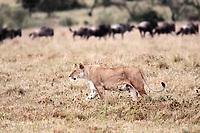 female Lion hunting Wildebeest gnu in the Masai Marra reserve in Kenya Africa