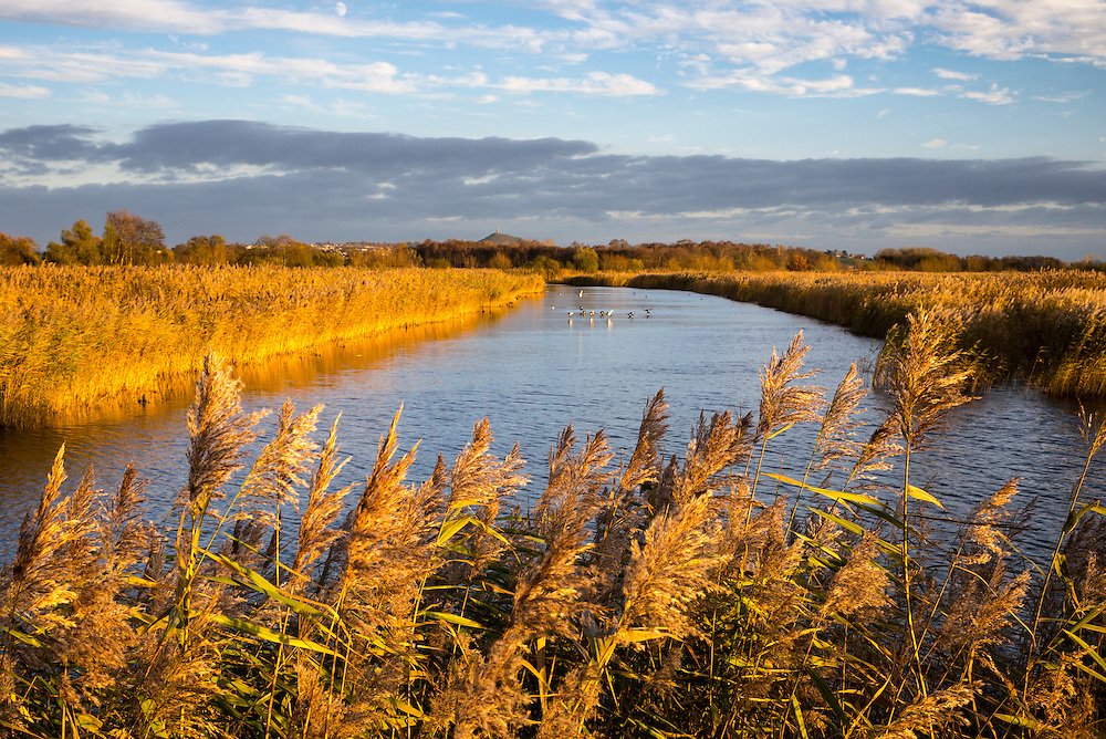 Wildfowl on marshes at the Somerset Levels wildlife nature reserve in low winter sunlight, Somerset, United Kingdom