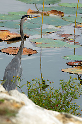 Spring Lake Fish and Wildlife Area is located in Tazewell County, 25 miles southwest of Peoria on the east side of the Illinois River.<br /> <br /> Great Blue Heron - Ardea herodias