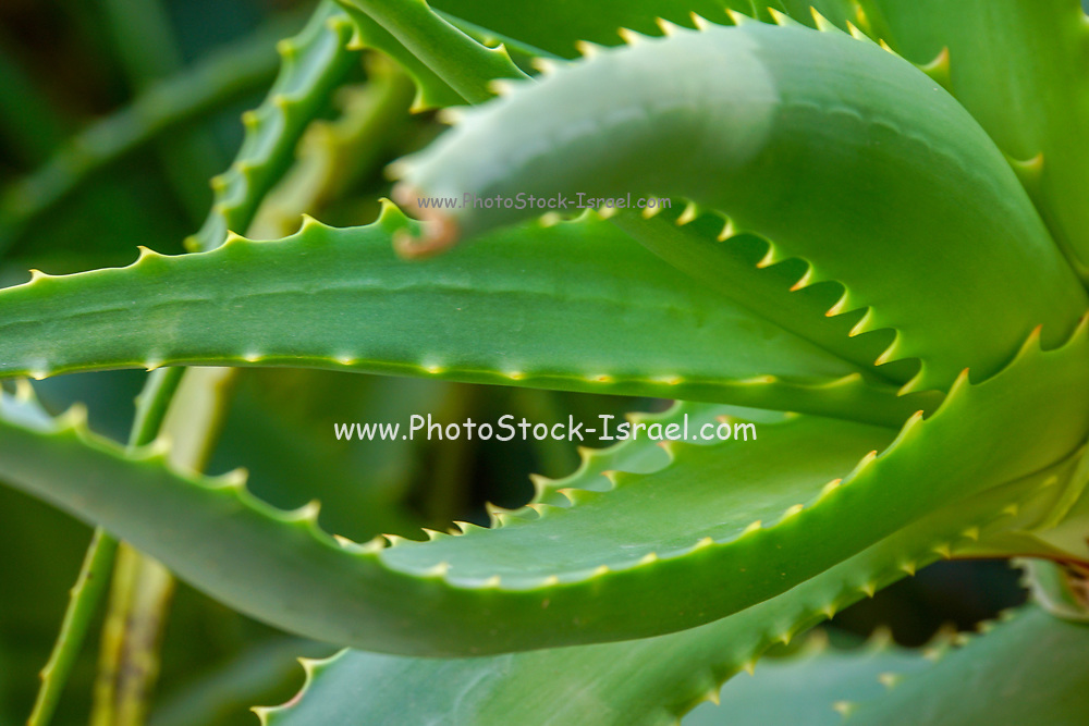Leafs of the Aloe vera plant. Very short-stemmed plant with thick leaves with soothing mucilaginous juice; leaves develop spiny margins with maturity; native to Mediterranean region; grown widely in tropics and as houseplants
