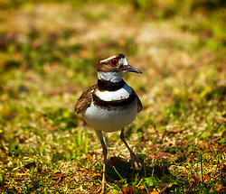 """Several KillDeer have made the trees on the Gold?s Gym parking lot home for the next 26 to 28 days of their incubation period. ..The killdeer frequently uses a """"broken wing act"""" to distract predators from the nest."""