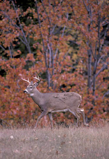 Whitetail Deer, (Odocoileus virginianus) Buck emerges from maple trees into meadow.