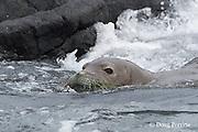 Hawaiian monk seal, Monachus schauinslandi ( Critically Endangered, endemic species ), female with green algae on face,  swimming out to sea, Keahole, Kona, Hawaii ( the Big Island )