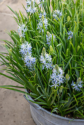 Camassias in a large metal container - Camassia leichtlinii ? check id