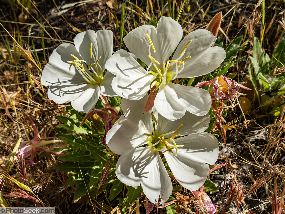 Desert primrose (aka dune evening primrose, Oenothera deltoides) blooms with white flowers along Tapeats Creek, in Grand Canyon National Park, Arizona, USA. Starting at River Mile 134.5, a portion of our party disembarked our rafts for a hike one way up beautiful Tapeats Creek Trail to the wondrous Thunder Spring and River, across remote Surprise Valley Trail, then down Deer Creek Trail to meet others of our group at The Patio and Deer Creek Falls at River Mile 136.9. This scenic one-way traverse was 8 miles with 2300 feet gain (measured by my smartphone GPS app). Day 10 of 16 days rafting 226 miles down the Colorado River in Grand Canyon National Park, Arizona, USA.