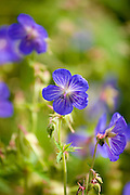 Wild perennial geranium in a field near Temple Guiting in The Cotswolds, Gloucestershire, UK