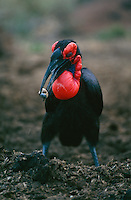 Southern ground hornbill (Bucorvus cafer)