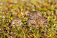 Burrowing owls in Cape Coral, Florida, USA