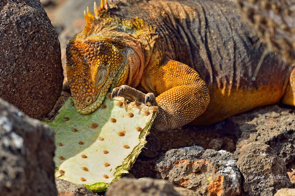 Galapagos land iguana (Conolophus subcristatus), Galapagos Islands National Park, North Seymore Is., Ecuador