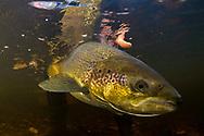 Atlantic Salmon<br /> <br /> Sean Landsman/Engbretson Underwater Photography