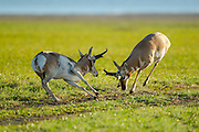 Pronghorn bucks fighting