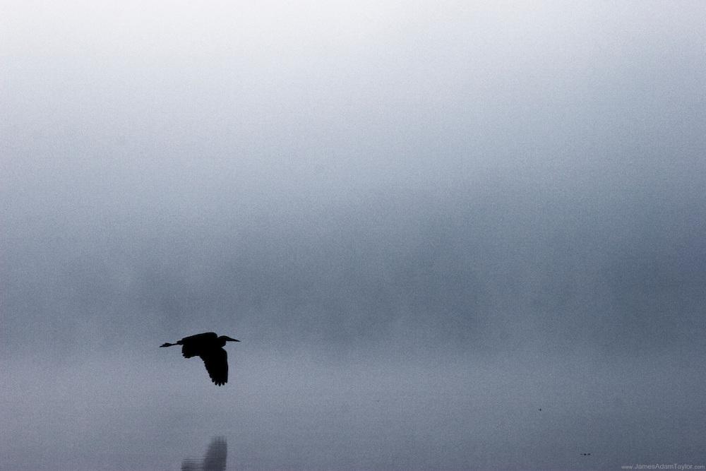 Great Blue Heron over Trap pond, Delaware.