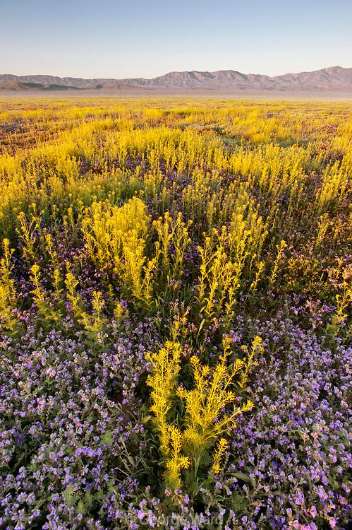 Phacelia and Peppergrass at Sunrise, Carrizo Plain National Monument, California