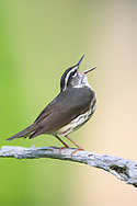 Louisiana Waterthrush - Seiurus motacilla