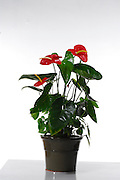Red Anthurium plant On white background