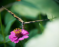 Tiger Swallowtail Butterfly on a Zinnia Flower. Image taken with a Nikon 1 V3 camera and 70-300 VR lens
