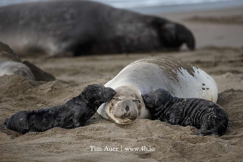 Which one of these elephant seal pups belongs to this mother? Piedras Blancas, California