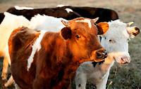 29.10.2014 wies Nowa Wola woj podlaskie N/z mlode krowy na pastwisku fot Michal Kosc / AGENCJA WSCHOD