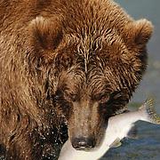 Alaskan Brown Bear eating a fish in Katmai National Park, Alaska.